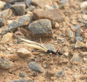 Hormigas arrastrando víveres al hormiguero antes de que comience la lluvia.